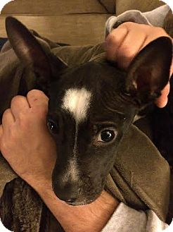 Boston Terrier/Chihuahua Mix Puppy for adoption in Franklinville, New Jersey - Brody