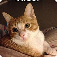 Adopt A Pet :: Marmalade - Bentonville, AR