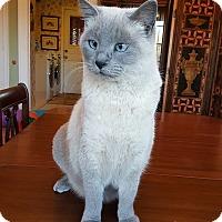 Adopt A Pet :: Mia - Bentonville, AR