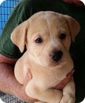 Golden Retriever Mix Puppy for adoption in Gainesville, Florida - Lemon