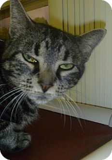 Domestic Shorthair Cat for adoption in Hamburg, New York - Penelope