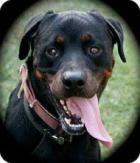 Rottweiler/Labrador Retriever Mix Dog for adoption in Alvarado, Texas - Zane