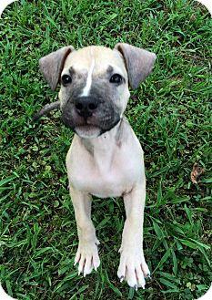 Boxer/Labrador Retriever Mix Puppy for adoption in Kittery, Maine - HERBIE