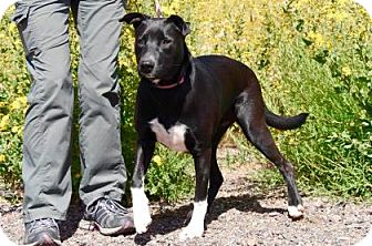 Pit Bull Terrier Mix Dog for adoption in Payson, Arizona - Sadie