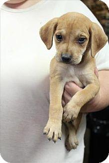 Labrador Retriever Mix Puppy for adoption in Janesville, Wisconsin - Darwin