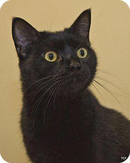 Domestic Shorthair Cat for adoption in Bellingham, Washington - Gus