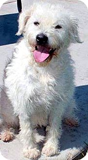 Westie, West Highland White Terrier/Terrier (Unknown Type, Medium) Mix Dog for adoption in Tijeras, New Mexico - Maggie Lilly