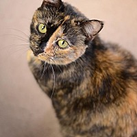 Domestic Shorthair Cat for adoption in Atlanta, Georgia - Angelica 10144