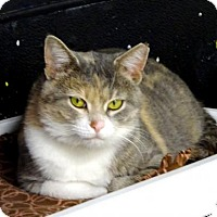 Domestic Shorthair Cat for adoption in Belleville, Michigan - Claudia
