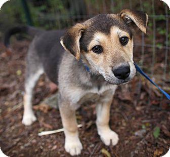 German Shepherd Dog/Husky Mix Puppy for adoption in Scranton, Pennsylvania - Triscuit