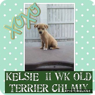 Terrier (Unknown Type, Small)/Chihuahua Mix Puppy for adoption in Mesa, Arizona - KELSIE