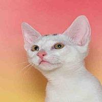 Adopt A Pet :: MEDUSA - Alameda, CA