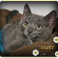 Domestic Shorthair Kitten for adoption in Shippenville, Pennsylvania - Daisey