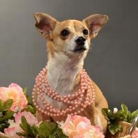 Adopt A Pet :: Nessie - Davison, MI