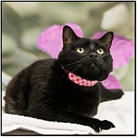 Adopt A Pet :: Inky - Houston, TX