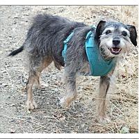 Adopt A Pet :: Rokkie your side kick - Sacramento, CA