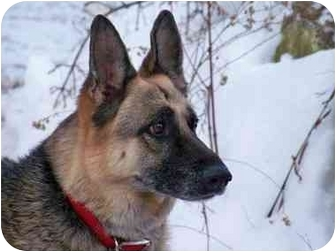 German Shepherd Dog Dog for adoption in Warwick, Massachusetts - Ginger