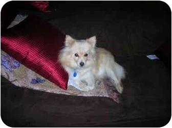 Pomeranian Dog for adoption in Flint, Michigan - Leah