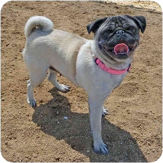 Pug Dog for adoption in San Clemente, California - CHERRY