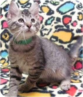 Domestic Shorthair Kitten for adoption in Jackson, Michigan - Harry