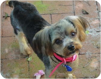 Yorkie, Yorkshire Terrier Mix Dog for adoption in West Palm Beach, Florida - Ranger