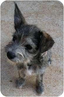 Schnauzer (Miniature)/Terrier (Unknown Type, Small) Mix Puppy for adoption in Haughton, Louisiana - Pebbles