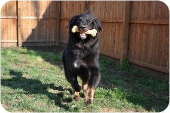 German Shepherd Dog/Collie Mix Dog for adoption in Hazlet, New Jersey - Uncle Bill