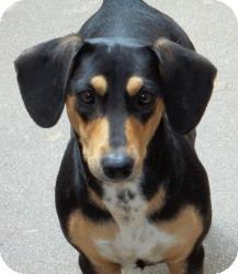 Dachshund Mix Dog for adoption in Gaffney, South Carolina - Fortune