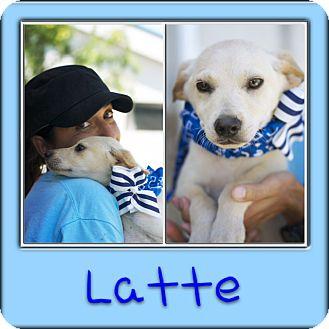 Labrador Retriever Mix Dog for adoption in Corpus Christi, Texas - Latte