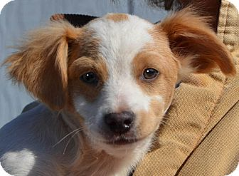 Terrier (Unknown Type, Small) Mix Puppy for adoption in Plainfield, Connecticut - Bishop