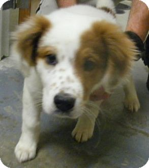 Australian Shepherd Mix Puppy for adoption in Olive Branch, Mississippi -