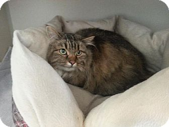 Norwegian Forest Cat Cat for adoption in Divide, Colorado - Kayci