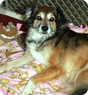 Sheltie, Shetland Sheepdog Mix Dog for adoption in Kalamazoo, Michigan - Roxy