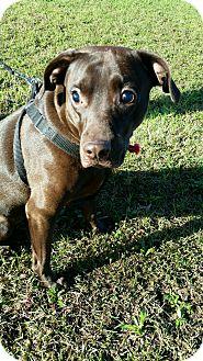 Labrador Retriever/Boxer Mix Dog for adoption in Lebanon, Connecticut - Baker