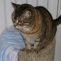 Domestic Shorthair Cat for adoption in Sparta, Wisconsin - Tinker