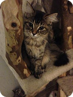 Domestic Mediumhair Kitten for adoption in Columbus, Ohio - Aria