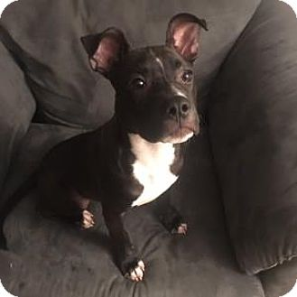 American Pit Bull Terrier Mix Dog for adoption in Decatur, Georgia - NEVADA