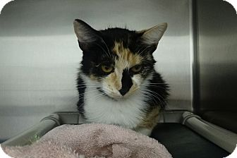 Calico Cat for adoption in Elyria, Ohio - Eden