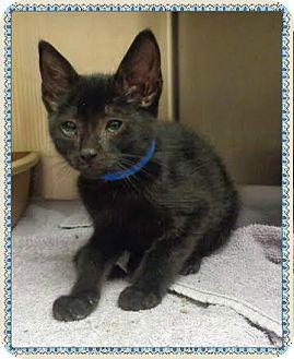 Domestic Shorthair Kitten for adoption in Marietta, Georgia - CASON