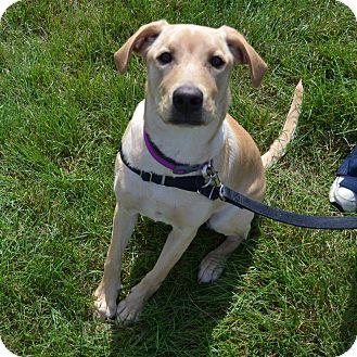 Labrador Retriever Mix Dog for adoption in Wheaton, Illinois - Piper