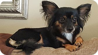 Chihuahua Mix Dog for adoption in Columbus, Ohio - Lucy Lu