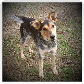 Blue Heeler Mix Dog for adoption in Medford, Wisconsin - BAILEY