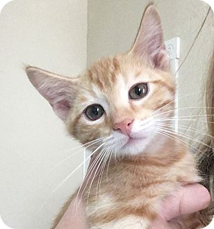 Domestic Shorthair Cat for adoption in St. Louis, Missouri - Baslow