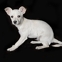 Chihuahua/Terrier (Unknown Type, Small) Mix Dog for adoption in Van Nuys, California - Duke