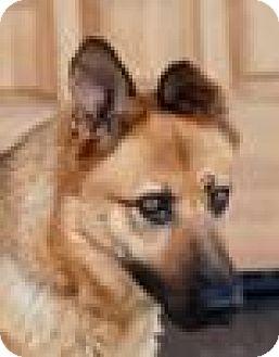German Shepherd Dog Mix Dog for adoption in Portola, California - Tulsa