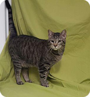 Domestic Shorthair Kitten for adoption in Hawk Point, Missouri - Hawthorn