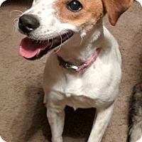 Adopt A Pet :: Frenchie in College Station - Houston, TX