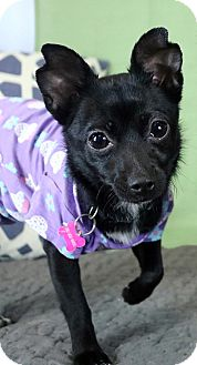 Chihuahua Mix Dog for adoption in Los Angeles, California - JUPITER (video)