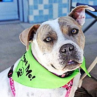 American Bulldog/Pit Bull Terrier Mix Dog for adoption in San Diego, California - Palomita