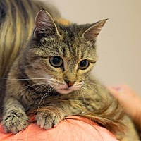 Domestic Shorthair Cat for adoption in Homewood, Alabama - Autumn